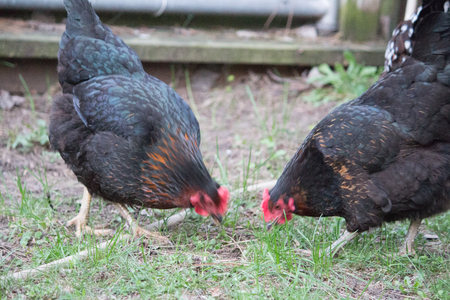 Chickens pecking Stock Photo