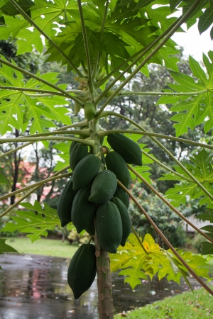 papaya tree , papaya thai photo