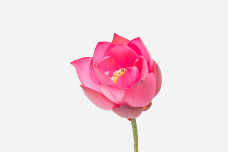insists: Beautiful lotus flower isolated on white background
