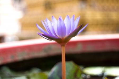 stating: Beautiful lotus flower