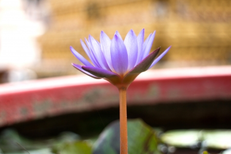 tunable: Beautiful lotus flower