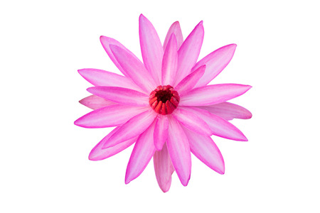 insists: pink lotus isolated on white background