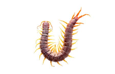 Centipede isolated white background photo
