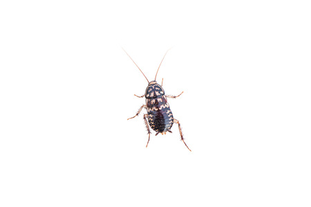 e  coli: cockroach isolated on white background
