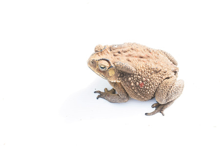big slick: toad Isolated on white background