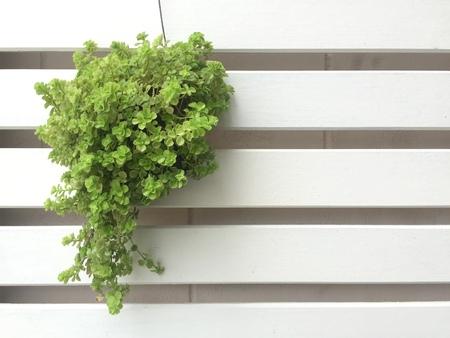 Graden tree in pot on wood background Standard-Bild