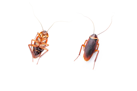 cockroach isolated white background Standard-Bild