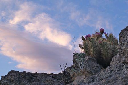 Hedgehog Cactus on Rock