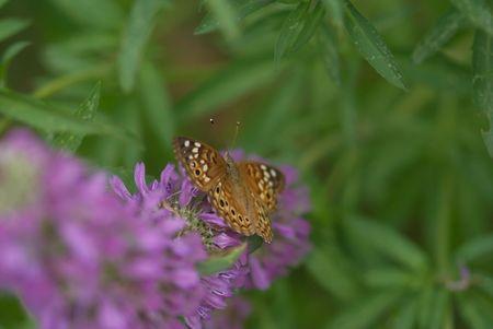 Butterfly resting on a purple flower