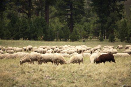 mouton noir: Black Sheep