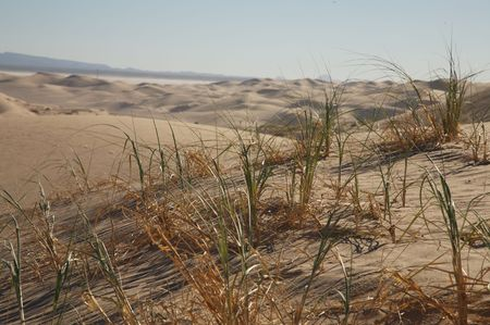 Grass growing on the side of a sand dune.