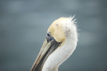 A pelican head with a blurred background
