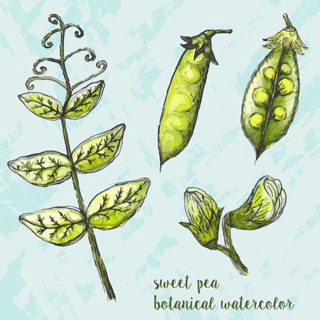 husk: Hand drawn watercolor illustration of fresh green peas in the husk. Vegetarian food product Illustration