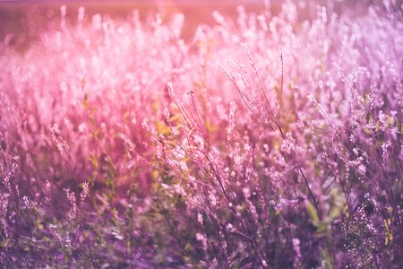 Vintage photo of wildflower field. Sunset sunlight gently toching beautiful flowers an creating amazing lavander color. Stock Photo