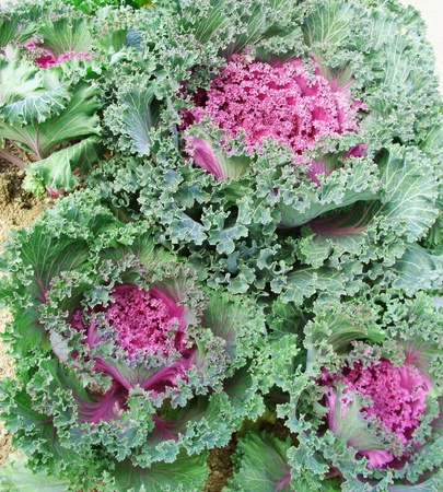 lettuces: Lettuces