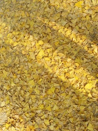 ginkgo tree: Yellow fallen leaves of Ginkgo tree Korea