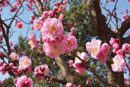 plum flower: Pink plum flower Stock Photo