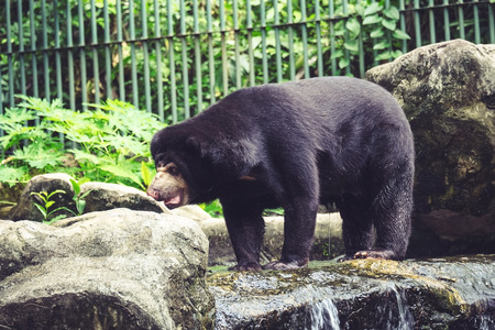Black bear walking on the rock with nature background in the park