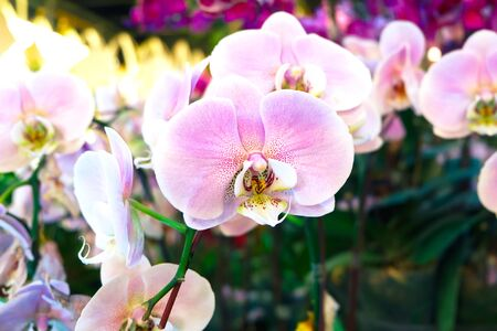 Pink Miltonopsis orchid flower in the garden with nature background
