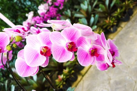 Pink Phalaenopsis orchid flower in the garden with nature background