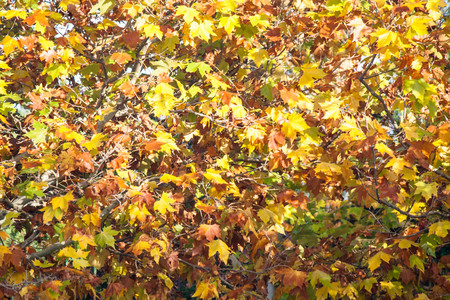 autumnal leaves background texture