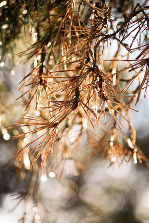 pine tree needles: Close-up shot of withered pine tree needles Stock Photo