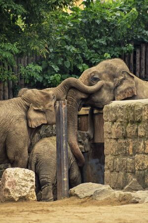 Close up shot of a family of elephants, the male separated from the female and baby elephant, hugging each other over the fence.