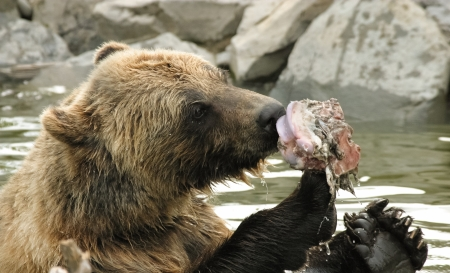 grizzly: Alaskan Grizzly Bear eating