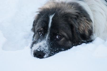 Snow Dog- Noewfoundland Great Pyrenees photo
