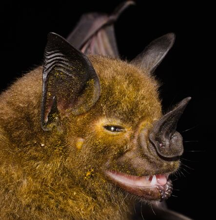 The greater spear-nosed bat (Phyllostomus hastatus) is a bat species of the Phyllostomidae family from South and Central America. [2] It is one of the largest bats of this region and is omnivorous.