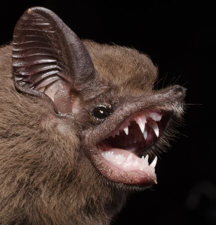 The greater dog-like bat (Peropteryx kappleri) is a bat species from Central America and South America. It is found from southern Mexico through Brazil and Peru. Stock fotó