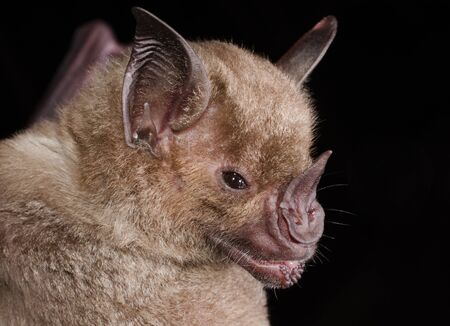 The pale spear-nosed bat (Phyllostomus discolor) is a species of phyllostomid bat from South and Central America.Pale spear-nosed bats are relatively robust for bats. Adults range from 8-11 centimeters