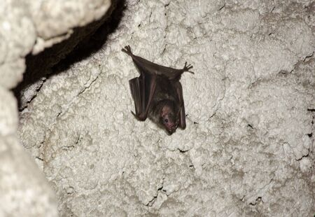 young bat of the species Phyllostomus sp. in limestone cave