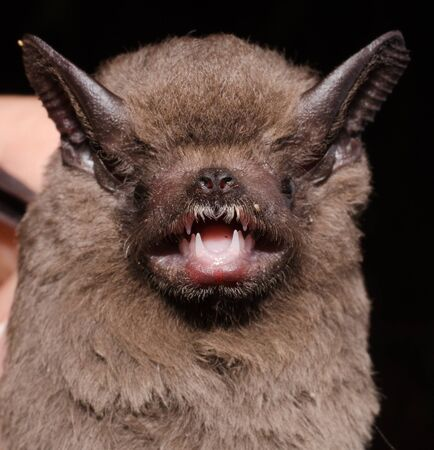 The greater dog-like bat (Peropteryx kappleri) is a bat species from Central America and South America. It is found from southern Mexico through Brazil and Peru.