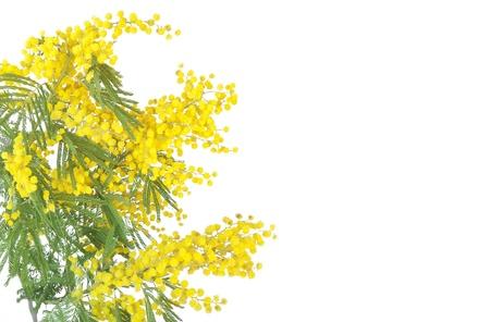 mimose: mimosa