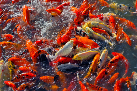 Koi fishes overlapping for food.