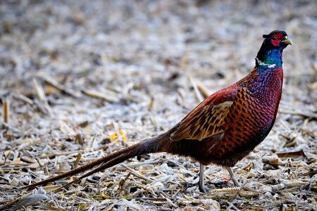 Beautiful male pheasant searching for food in a field on a cold and freezing day