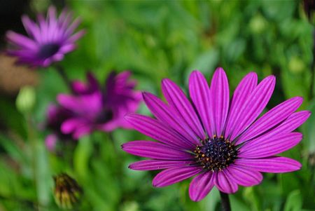 A nice close up of a purple daisy with two others out of focus in the back ground