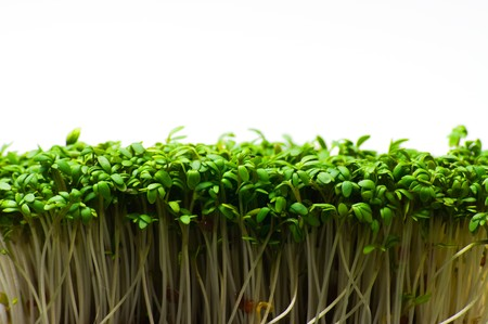 Fresh and tasty cress for a lot of meals in the modern kitchen photo