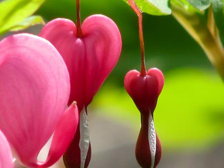 bleeding: Bleeding heart flower