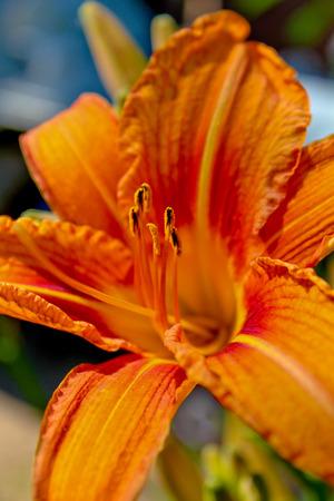 orange lily: orange lily Stock Photo