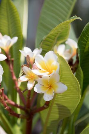 subtropical: frangipani