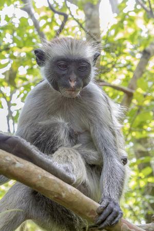 Red Colobus Monkey Archivio Fotografico