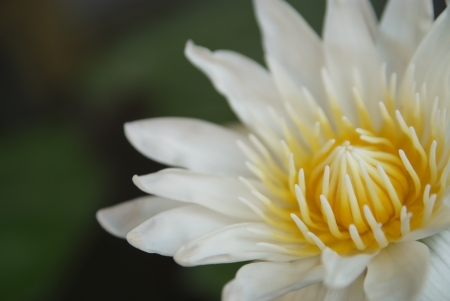 White lotus flowers are blooming flower show