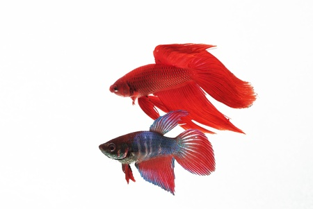 There re two chinese fighting fish  They both were flirting each other