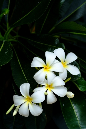 Most popular flower called Lan Thom, Thai people have to plant