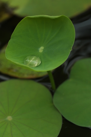 lon: Water drop lon otus baby leaf in the pond  Stock Photo