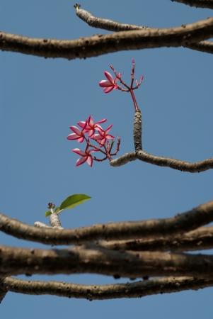 Beautiful frangipani flowers blossom on the trees. Stock Photo