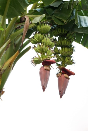 Couple banana flower and young banana photo