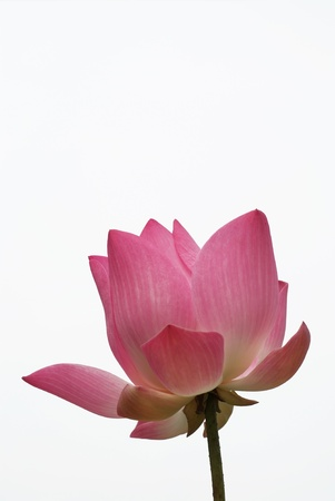 The beutiful petals  pink lotus on white background photo